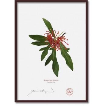 155 Firewheel Tree (Stenocarpus sinuatus) - A4 Flat Print, No Mat