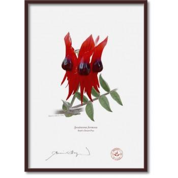 160 Sturt's Desert Pea (Swainsona formosa) - A4 Flat Print, No Mat