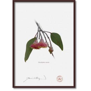 161 Eucalyptus caesia - A4 Flat Print, No Mat
