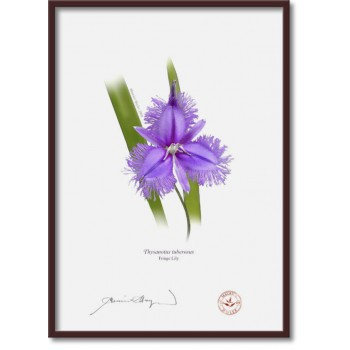 163 Fringe Lily (Thysanotus tuberosus) - A4 Flat Print, No Mat