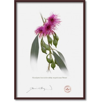 164 Eucalyptus leucoxylon subsp. megalocarpa 'Rosea' - A4 Flat Print, No Mat