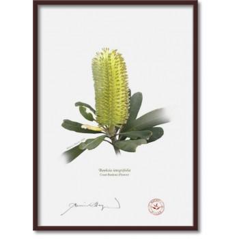 192 Coast Banksia Flower (Banksia integrifolia) - A4 Flat Print, No Mat