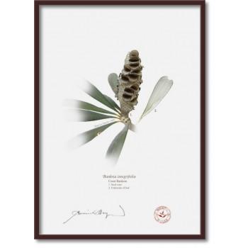 194 Coast Banksia Seed Cone and Leaf (Banksia integrifolia) - A4 Flat Print, No Mat