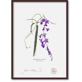 203 Hardenbergia violacea - A4 Flat Print, No Mat