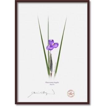 204 Day Iris (Patersonia fragilis) - A4 Flat Print, No Mat