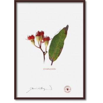224 Corymbia ficifolia - A4 Flat Print, No Mat