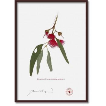 229 Eucalyptus leucoxylon subsp. petiolaris - A4 Flat Print, No Mat