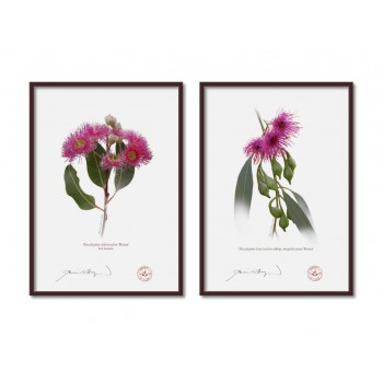 Eucalyptus 'Rosea' Cultivars Diptych - A4 Flat Prints, No Mats