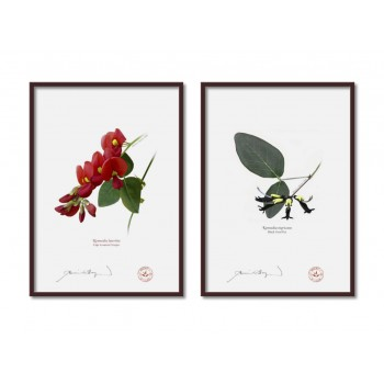 Kennedia species Diptych - A4 Flat Prints, No Mats