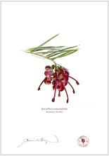 Rosemary Grevillea (Grevillea rosmarinifolia)