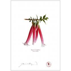 Native Fuchsia (Epacris longiflora)