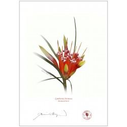 Mountain Devil (Lambertia formosa)