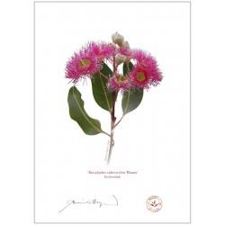 Red Ironbark (Eucalyptus sideroxylon 'Rosea')