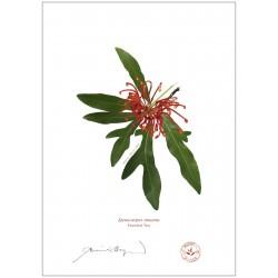 Firewheel Tree (Stenocarpus sinuatus)