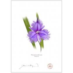 Fringe Lily (Thysanotus tuberosus)