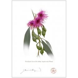 Eucalyptus leucoxylon subsp. megalocarpa 'Rosea'
