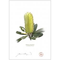 Coast Banksia Flower (Banksia integrifolia)