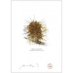Spent Coast Banksia Flower (Banksia integrifolia)