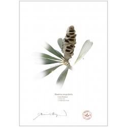 Coast Banksia Seed Cone and Leaf (Banksia integrifolia)