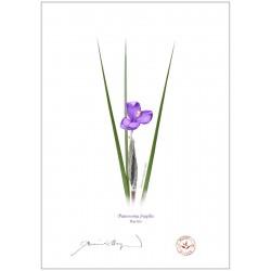 Day Iris (Patersonia fragilis)