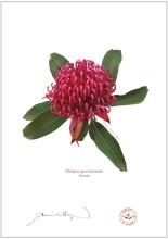 Waratah (Telopea speciosissima)