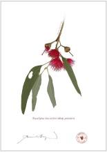 Eucalyptus leucoxylon subsp. petiolaris
