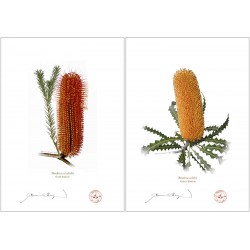 Banksia Flower Collection 4 Diptych