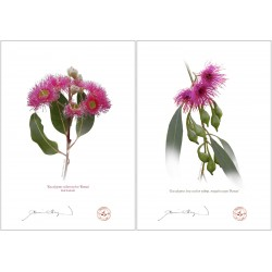 Eucalyptus 'Rosea' Cultivars Diptych