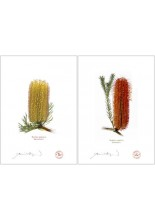 Banksia Flower Collection 3 Diptych