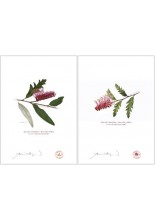 Grevillea 'Poorinda Royal Mantle' Diptych