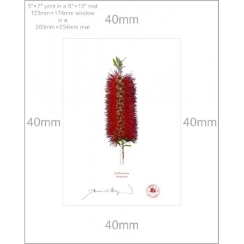 010 Bottlebrush (Callistemon) - 5″ × 7″ Print Ready to Frame With 8″ × 10″ Mat and Backing