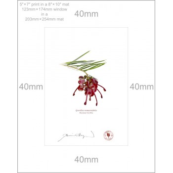 041 Rosemary Grevillea (Grevillea rosmarinifolia) - 5″ × 7″ Print Ready to Frame With 8″ × 10″ Mat and Backing