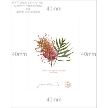 135 Grevillea 'Superb' - 5″ × 7″ Print Ready to Frame With 8″ × 10″ Mat and Backing