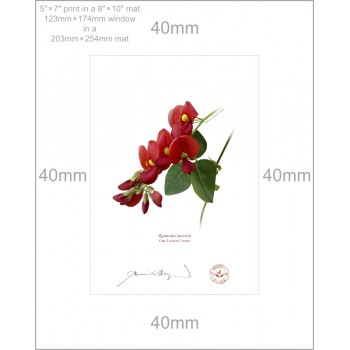 137 Cape Leeuwin Creeper (Kennedia lateritia) - 5″×7″ Print Ready to Frame With 8″×10″ Mat and Backing