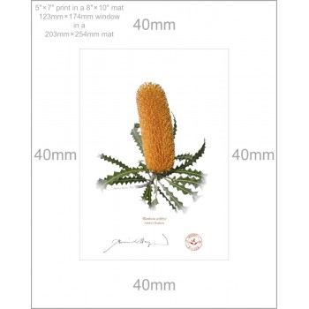 154 Ashby's Banksia (Banksia ashbyi) - 5″ × 7″ Print Ready to Frame With 8″ × 10″ Mat and Backing