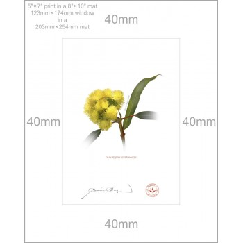 162 Eucalyptus erythrocorys - 5″ × 7″ Print Ready to Frame With 8″ × 10″ Mat and Backing