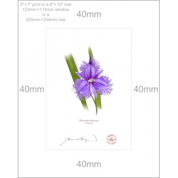 163 Fringe Lily (Thysanotus tuberosus) - 5″×7″ Print Ready to Frame With 8″×10″ Mat and Backing