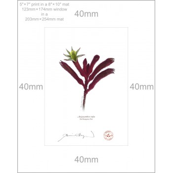 175 Red Kangaroo Paw (Anigozanthos rufus) - 5″ × 7″ Print Ready to Frame With 8″ × 10″ Mat and Backing
