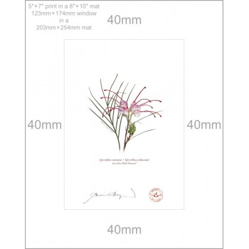188 Grevillea 'Bulli Princess' - 5″×7″ Print Ready to Frame With 8″×10″ Mat and Backing