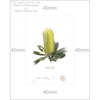 192 Coast Banksia Flower (Banksia integrifolia) - 5″ × 7″ Print Ready to Frame With 8″ × 10″ Mat and Backing