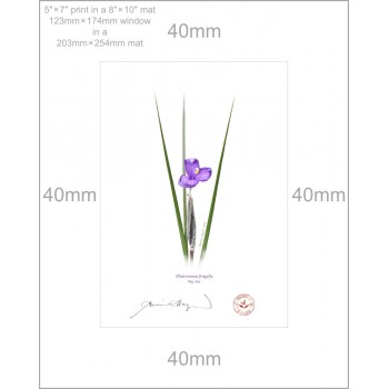 204 Day Iris (Patersonia fragilis) - 5″×7″ Print Ready to Frame With 8″×10″ Mat and Backing