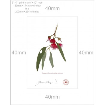 229 Eucalyptus leucoxylon subsp. petiolaris - 5″ × 7″ Print Ready to Frame With 8″ × 10″ Mat and Backing