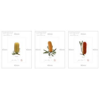 Banksia Flower Collection 1 Triptych - 5″ × 7″ Prints Ready to Frame With 8″ × 10″ Mats and Backing