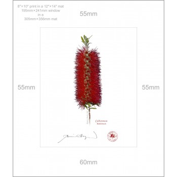 010 Bottlebrush (Callistemon) - 8″ × 10″ Print Ready to Frame With 12″ × 14″ Mat and Backing