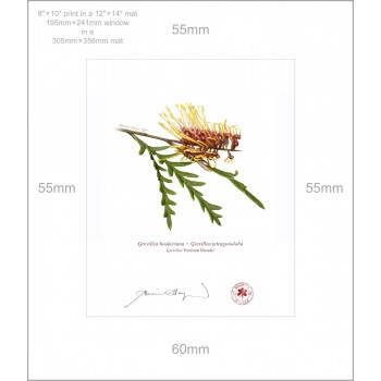 028 Grevillea 'Poorinda Blondie' - 8″ × 10″ Print Ready to Frame With 12″ × 14″ Mat and Backing