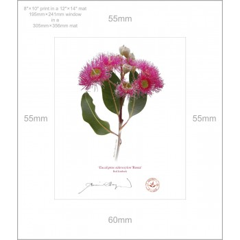 121 Red Ironbark (Eucalyptus sideroxylon 'Rosea') - 8″ × 10″ Print Ready to Frame With 12″ × 14″ Mat and Backing