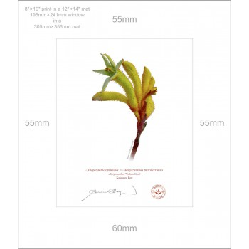 133 Kangaroo Paw (Anigozanthos 'Yellow Gem') - 8″ × 10″ Print Ready to Frame With 12″ × 14″ Mat and Backing
