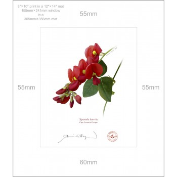 137 Cape Leeuwin Creeper (Kennedia lateritia) - 8″×10″ Print Ready to Frame With 12″×14″ Mat and Backing