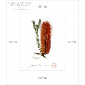 148 Heath Banksia (Banksia ericifolia) - 8″ × 10″ Print Ready to Frame With 12″ × 14″ Mat and Backing