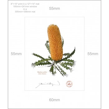 154 Ashby's Banksia (Banksia ashbyi) - 8″ × 10″ Print Ready to Frame With 12″ × 14″ Mat and Backing